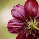 Choca Mocha Cosmos by Mandy Disher