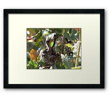 Costa's Hummingbird ~ Growing Still..... Framed Print