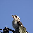 kookaburra at the park by aussieazsx
