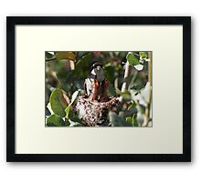 Costa's Hummingbird ~ No rest for the weary..... Framed Print