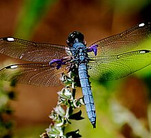 Bright Blue Dragonfly by patti4glory