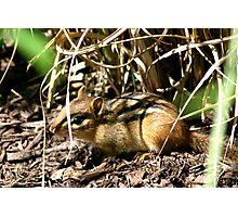 Eastern Chipmunk, Alvin! Photographic Print