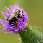 Bumblebee on a Thistle by Laurel Talabere