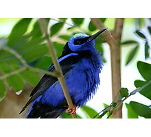 Blue Bunting Photographic Print