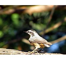 Nuthatches Photographic Print