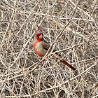 Pyrrhuloxia ~ Male by Kimberly Chadwick
