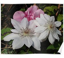 White Clematis Blooms Poster