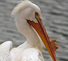 American White Pelican  by Winston D. Munnings