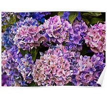 Painted Hydrangea Poster