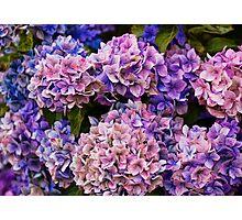 Painted Hydrangea Photographic Print