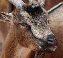 Pygmy Goat by Lori Peters