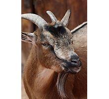 Pygmy Goat Photographic Print