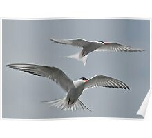 Arctic Terns Poster
