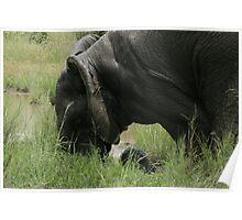 Elephant Kruger Park Dec 2009 Poster