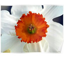 Daffodil, Orange & White Poster