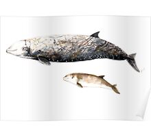 Cuvier´s Beaked whale Poster