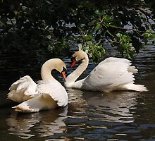 Mute Swans No.3 by patapping
