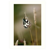 Marbled White Butterfly Art Print