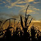 corn at days end by phillip wise