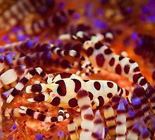 Coleman's Shrimp - Lembeh Strait  by Stephen Colquitt
