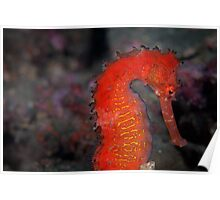 Tropical seahorse - Lembeh Strait  Poster
