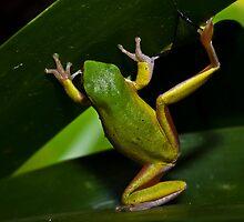 Eastern Dwarf Tree Frog  by D Byrne