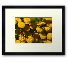 Amongst the Yellow - Hoverflies Framed Print