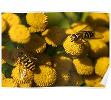 Amongst the Yellow - Hoverflies Poster