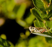 Grasshopper by Sean McConnery