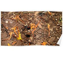 Halloween  black widow spider Poster