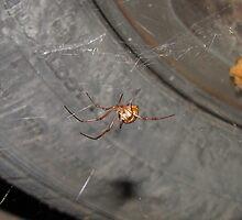 Brown Widow Spider by nosajnybor