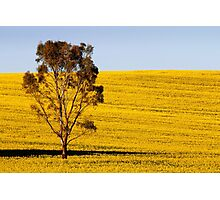 Canola Yellow Photographic Print