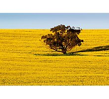 Canola Field Photographic Print