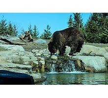 bears.  Photographic Print