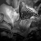 Butterfly In Black And White by CarolM