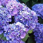 LUSH BLUE HYDRANGEAS by Joan Harrison
