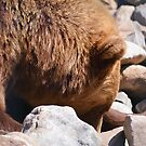 Grizzly Bear on the Rocks  by Skye Ryan-Evans
