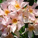 Oleander bloom by Maria1606