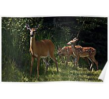Twin Whitetail Fawns Poster