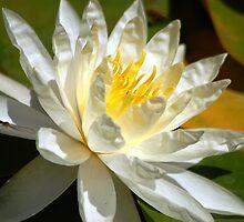 Lily in Water by loiteke