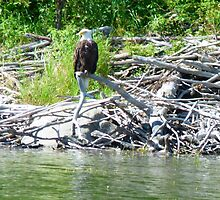Bald Eagle at Jan Lake Sask. Canada by MaeBelle