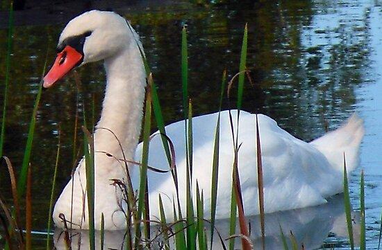 Beautiful Day Beautiful Swan by Monica Engeler