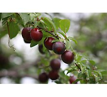 Red Plums Photographic Print