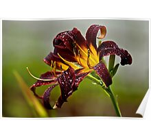 "Daylily ""Black Plush"" Poster"