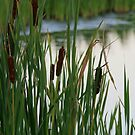 Cat tails Along the Pond by Geno Rugh