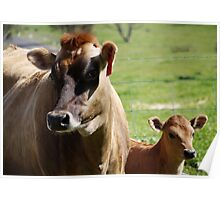 Mother and baby-Jersey Cow Poster