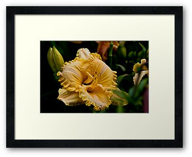 "Daylily ""Chasing Windmills"" by Michael Cummings"