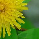 Pretty in Yellow,Dandilion by MaeBelle