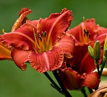 "Daylily ""Raging Wildfire"" by Michael Cummings"