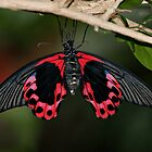Scarlet Mormon Butterfly by Sandy Keeton